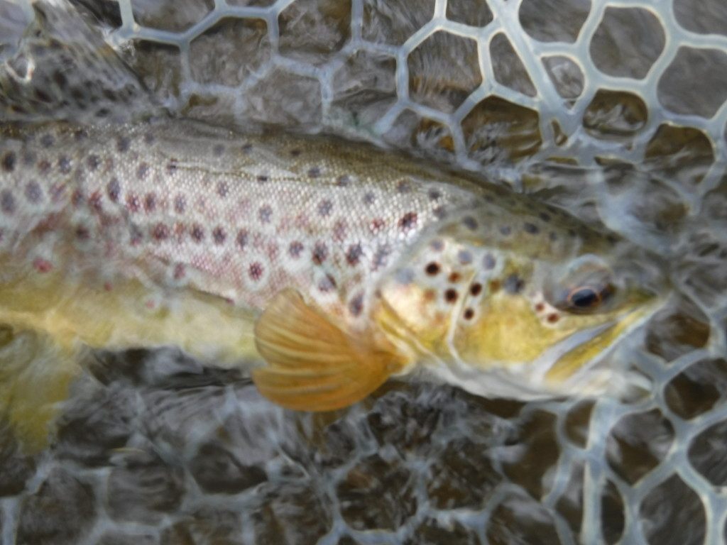 brown trout in net